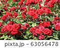 花フェスタ記念公園の薔薇 63056478
