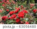 花フェスタ記念公園の薔薇 63056480