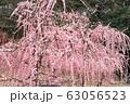 菅原神社のしだれ梅 63056523