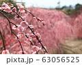 菅原神社のしだれ梅 63056525
