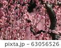 菅原神社のしだれ梅 63056526