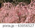 菅原神社のしだれ梅 63056527