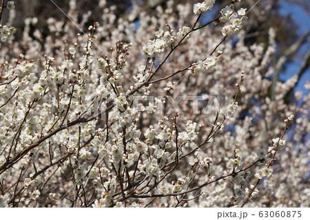 梅の花 63060875