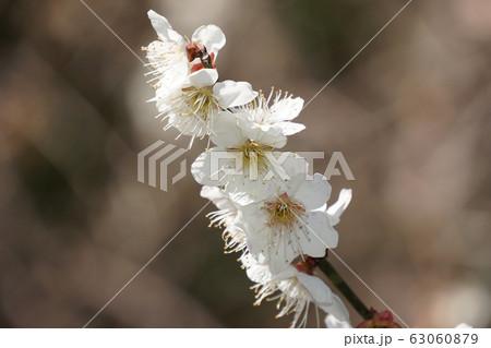 梅の花 63060879