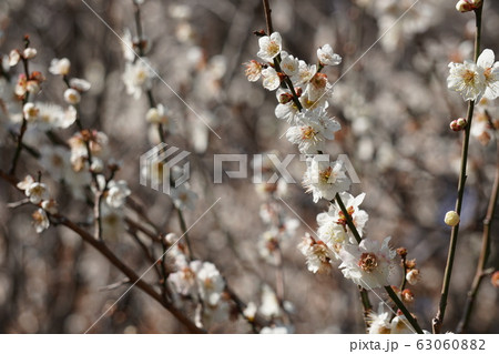 梅の花 63060882