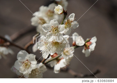 梅の花 63060884