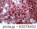 早咲き桜 63078402