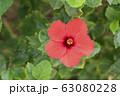 【沖縄イメージ】ハイビスカス 63080228