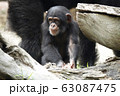 チンパンジー 63087475