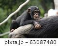 チンパンジー 63087480