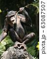 チンパンジー 63087507