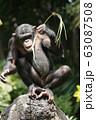 チンパンジー 63087508