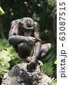 チンパンジー 63087515
