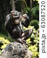 チンパンジー 63087520
