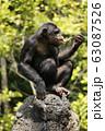 チンパンジー 63087526