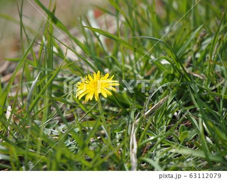 草むらに咲く一輪のタンポポ perming 写真素材 63112079