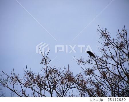 枯れ木に止まって鳴くカラス perming 写真素材 63112080