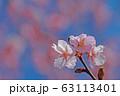 早咲き桜 63113401