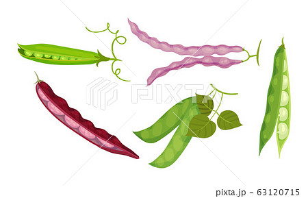 Leguminous Plants with Open Pods and Beans Inside Vector Set 63120715
