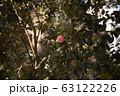 椿 オトメツバキ カメリア 63122226