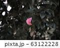 椿 オトメツバキ カメリア 63122228