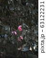 椿 オトメツバキ カメリア 63122231
