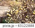 ミツマタの花 63122888
