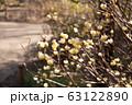 ミツマタの花 63122890
