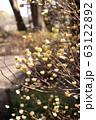 ミツマタの花 63122892