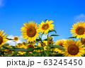 ヒマワリ・三ノ倉高原(福島県・喜多方市) 63245450