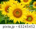 ヒマワリ・三ノ倉高原(福島県・喜多方市) 63245452