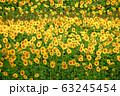 ヒマワリ・三ノ倉高原(福島県・喜多方市) 63245454