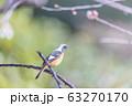 梅とジョウビタキ 63270170