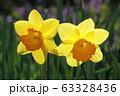 水仙の花 63328436