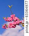 ハナモモ 63364977