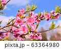 ハナモモ 63364980
