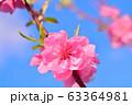 ハナモモ 63364981