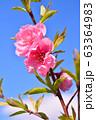 ハナモモ 63364983