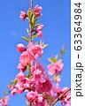 ハナモモ 63364984