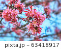 background with cherry blossoms 63418917