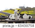 春のマザー牧場 花の大斜面とヤギ   63430758