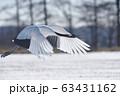 タンチョウの飛び立ち(北海道・鶴居) 63431162
