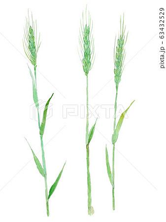 Triticum aestivum 小麦 63432529
