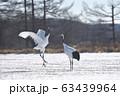 タンチョウのダンス(北海道・鶴居) 63439964