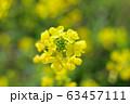 菜の花 63457111