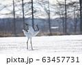 着地して翼をたたむ丹頂鶴(北海道・鶴居) 63457731