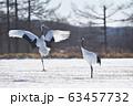 タンチョウのダンス(北海道・鶴居) 63457732