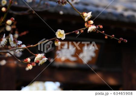 早春の梅のイメージ 63465908