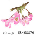 sakura20320pix7 63468879