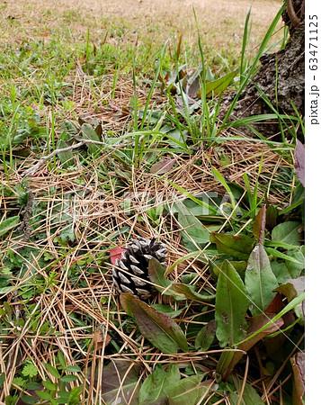草の陰にひっそりとただずむ松ぼっくり 63471125